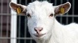 Поздравления с годом козы